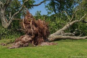 Von einem Blitz entwurzelt: Aus der Traum vom Baum