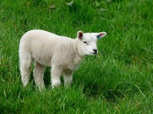Och, wie niedlich! Finden nicht nur Sodomisten süß - ein kleines Lamm