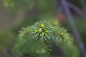 Hat das Glück, noch zu leben - zarter Trieb an einem Nedelbaum